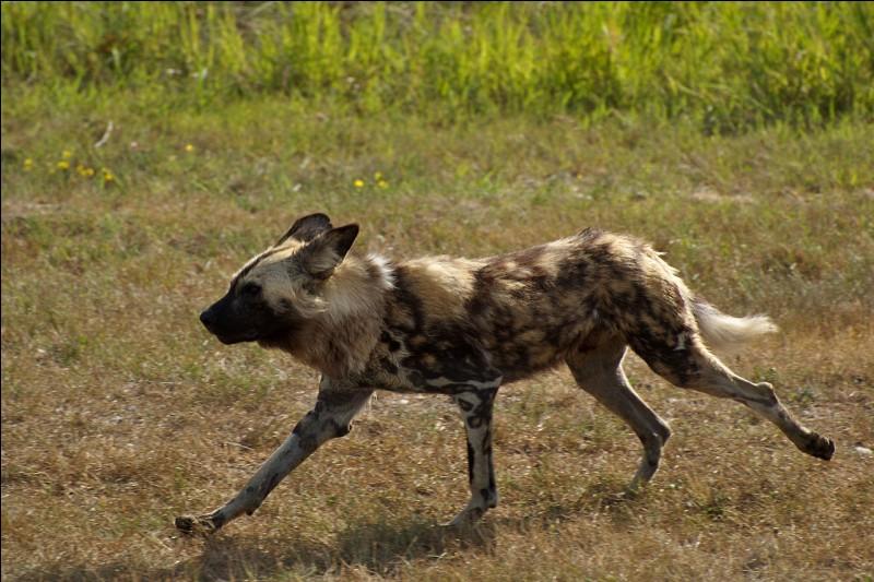 Ce canidé sauvage d'Afrique est surnommé ''loup peint''. Quel est son nom ?