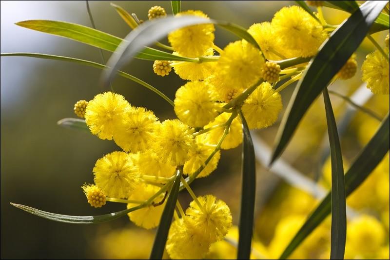 De quelle famille fait partie le mimosa ?