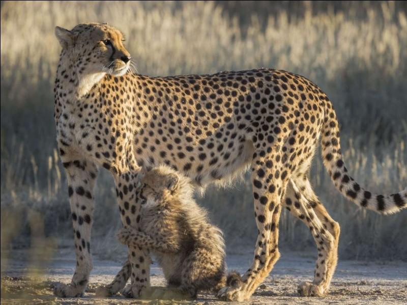 Quel est le statut du guépard sur la liste de l'Union internationale pour la conservation de la nature ?