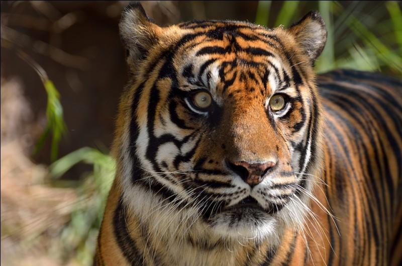 Quelle est l'une des plus grandes menaces pour les tigres aujourd'hui ?