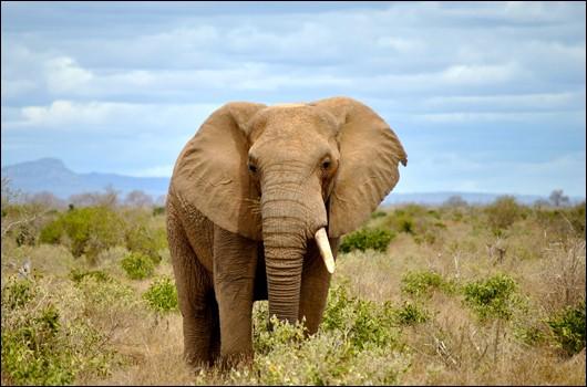 Laquelle des propositions ne correspond pas à un aliment courant pour l'éléphant ?