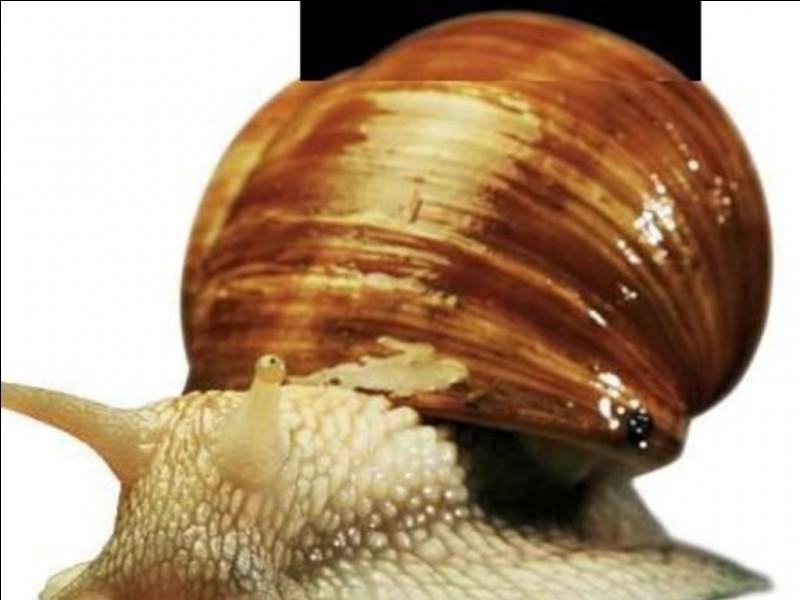 Les escargots ont des dents :