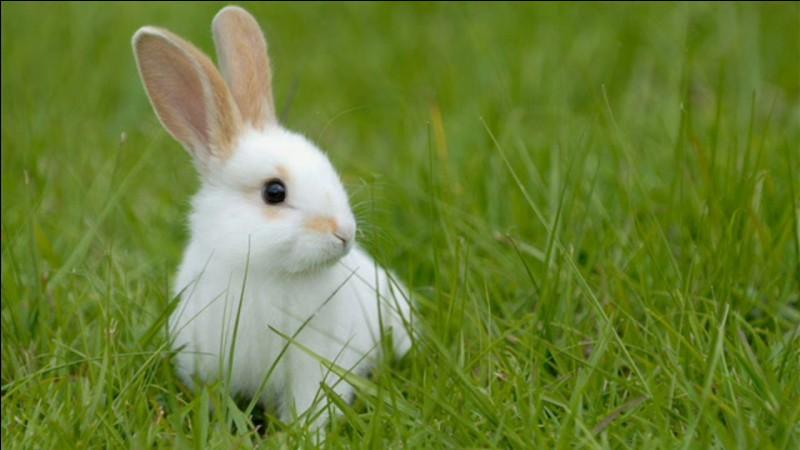 Quelle race de lapin n'existe pas ?