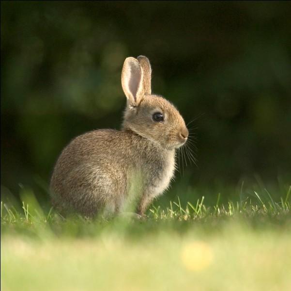Le lapin est évidemment...