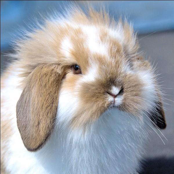 La durée de vie du lapin de compagnie est de...