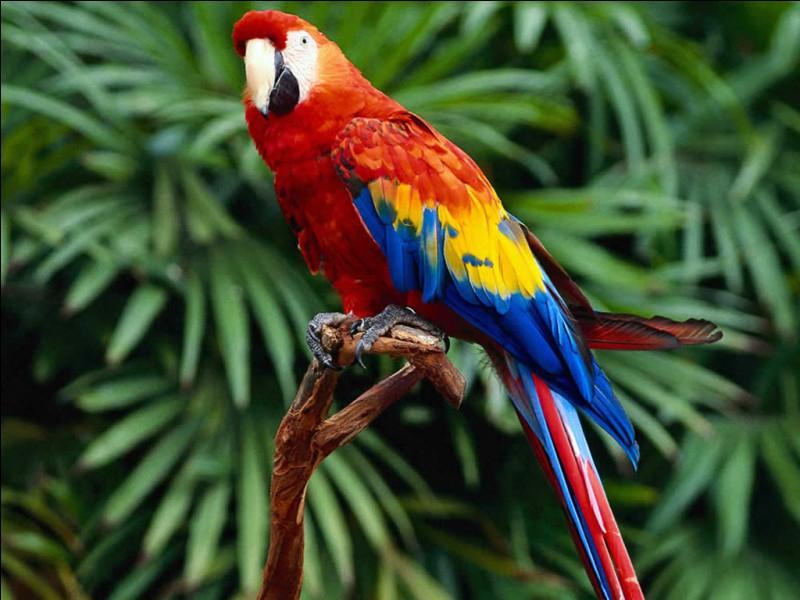Le perroquet est :
