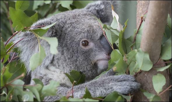 Combien y a-t-il de koalas sur cette image ?