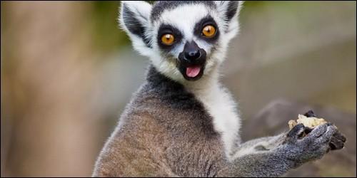 De quelle île le lémur (maki catta) est-il originaire ?