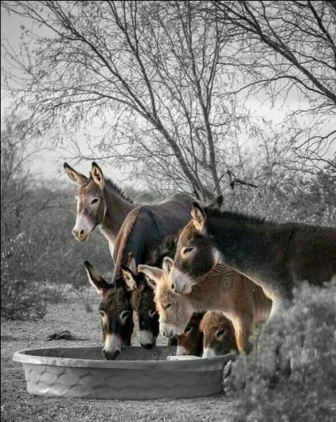 Le cheval hennit, l'âne brait, mais que font leurs hybrides, mulet et bardot ?