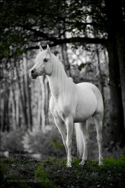 Le cheval à robe blanche est extrêmement rare : le pelage doit être blanc sans aucune tache...