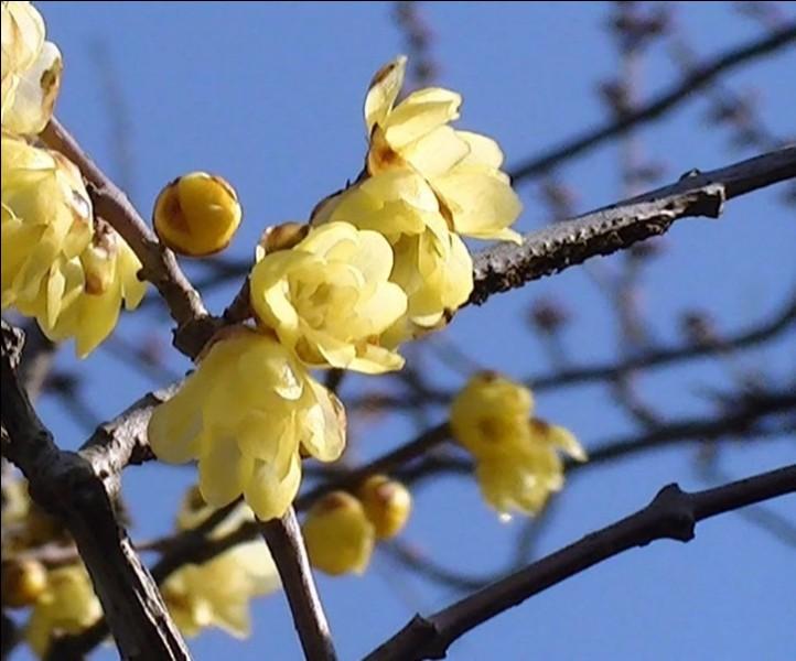 Le Wintersweet, un arbuste parfumé à floraison hivernale, est connu scientifiquement en tant que...