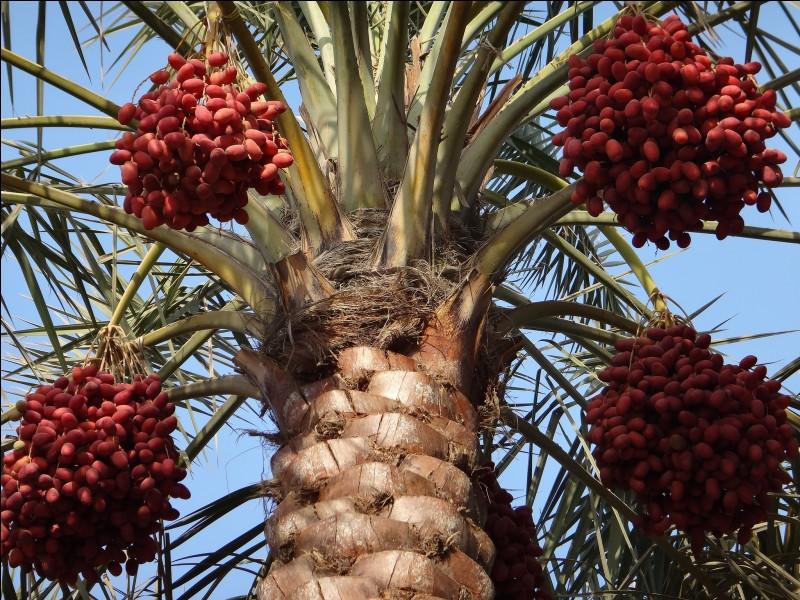 Capable de produire 45 kg de fruits à l'année durant 60 ans, quel arbre est considéré comme l'arbre de la vie par les musulmans ?