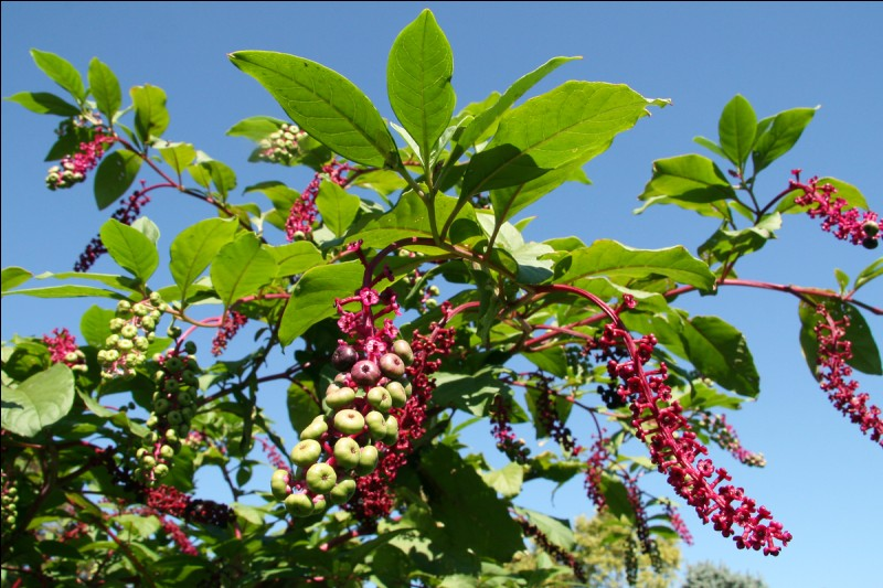 Comment appelle-t-on aussi la Phytolacca americana ?