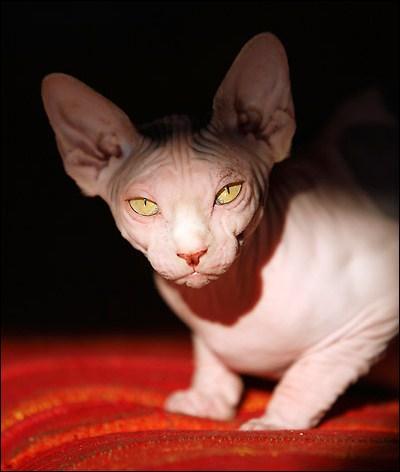 Quel nom porte la race de chats sans poils sunommés chats nus ?