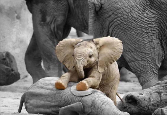Quel est le poids approximatif d'un éléphanteau à sa naissance ?