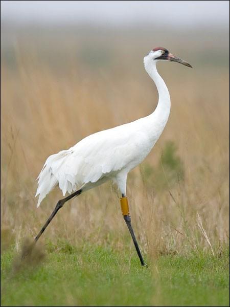 Ce magnifique oiseau est en voie de disparition et peut être facilement vu dans la réserve naturelle nation de l'Arkansas.