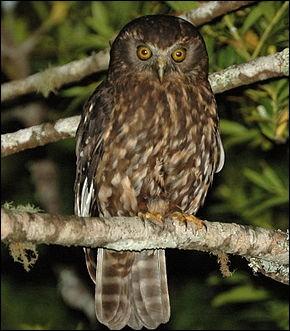 Quel oiseau nocturne, portant le nom de ruru en maori, a une grande importante spirituelle pour certains ?