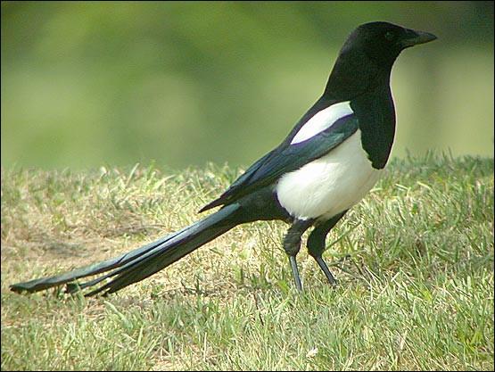 Quel oiseau européen est connu pour voler des objets brillants ?