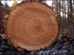 Que déterminent les anneaux d'un arbre ?