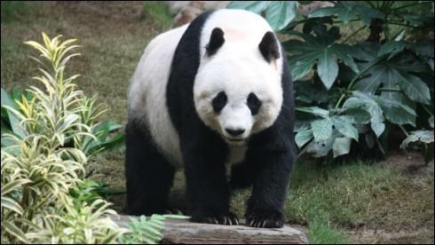 Si tu es fan des pandas tu devrais connaître la légende qui explique comment les pandas ont le tour des yeux noirs et les oreilles noires :