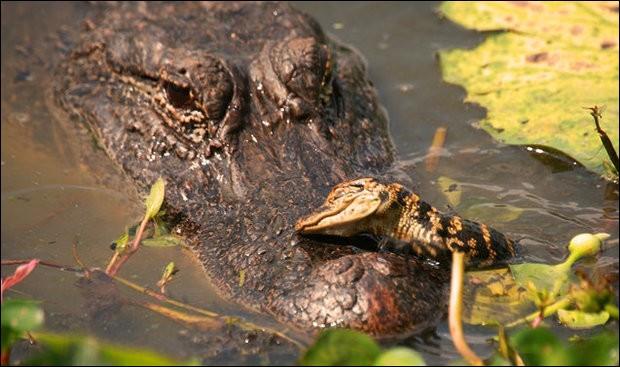 Encore + touchant quand on en connaît le contexte : le photographe du cliché a noté que ''la mère crocodile venait juste de protéger son bébé contre un homme trop rapproché et a été récompensée par ce doux baiser reptilien''. Touchant non ?Cette mère possède une audition tellement vive qu'elle peut entendre ses bébés crier de l'intérieur des œufs.De quelle espèce est ce bébé qui embrasse sa mère