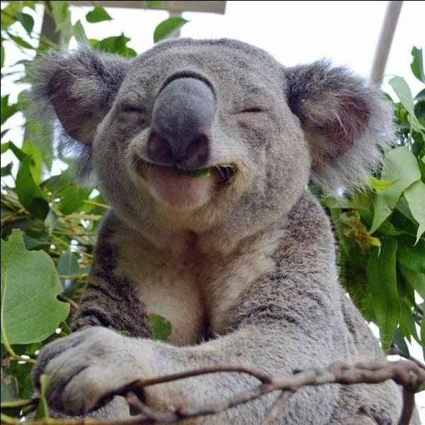 Il est membre de la famille des marsupiaux. Bien qu'il possède des griffes et des dents pointues, il est inoffensif : en plus, c'est un herbivore. Une recherche sur image dans Google donne ''animal en voie d'extinction''.Quel est ce petit animal qui passe environ 19 heures par jour à dormir (Qu'est-ce qui nous dit qu'il n'est pas entrain de bailler sur la photo ?) ?