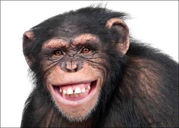 """En 1872, Darwin a écrit sur les singes qui """"riaient"""" quand on les chatouillait. Dans le règne animal, l'exposition des dents peut aussi représenter une menace, même un signe de peur ou encore de soumission : je ne crois pas que cela soit le cas pour celui de la photo.Quelle est cette race qui a une structure dentaire similaire à l'humain avec 32 dents capables de moudre, de couper et de rire ?"""