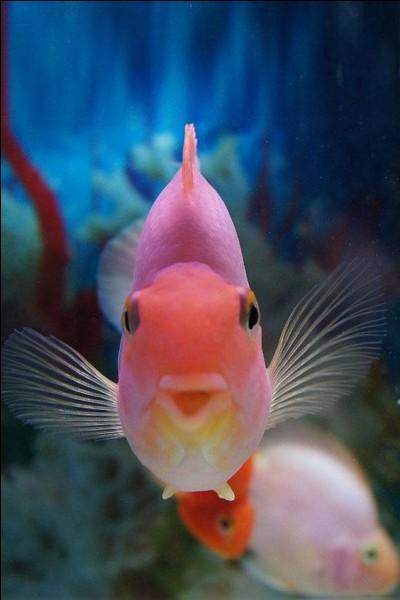 Ce poisson nous vient d'Asie, Chine et Japon : il y en a de multiples espèces, certaines impressionnantes, yeux exorbités ou téléscopiques, nageoires allongées. C'est après des années de sélection qu'on est parvenu à cette coloration.Comment appelle-ton, généralement parlant, le cyprin doré ?