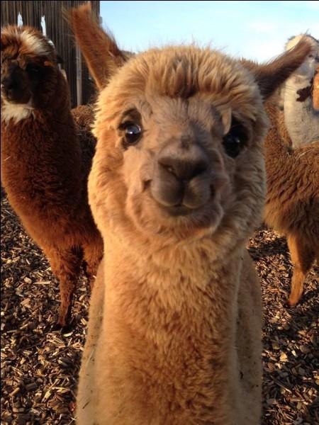 Une recherche sur cette photo dans Google donne que ce petit camélidé est heureux : on a interprété qu'il avait un sourire et que cela lui donnait du bonheur.Quel est le nom de cet animal généralement considéré comme doux et curieux, mais qui peut aussi être peureux, préférant l'encadrement de son troupeau ?