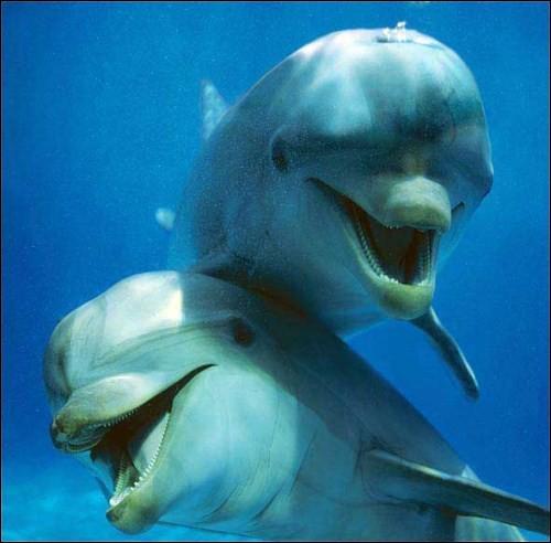Les rois de la clownerie : depuis longtemps on sait qu'ils sont dotés d'étonnantes capacités cognitives. Ils sont doués pour acquérir, traiter et transmettre des infos de leur environnement. Physiquement, ils ont déjà l'air de sourire, mais ils sont également connus pour leur comportement enjoué. Quelle est cette espèce, équipée pour sourire, ayant de 18 0 28 dents de chaque côté de la mâchoire ?