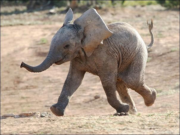 Aucun doute, ce pachyderme va bon train et est porté par l'entrain : j'imagine que son dernier bain de boue lui a rafraîchit les idées. Il se sent léger et court rejoindre maman et les amis. Vous devez trouver l'espèce animale de cet émule de Dumbo que j'ai trouvé dans Duncan Noakes ''Cute Smiling Animals'' ?