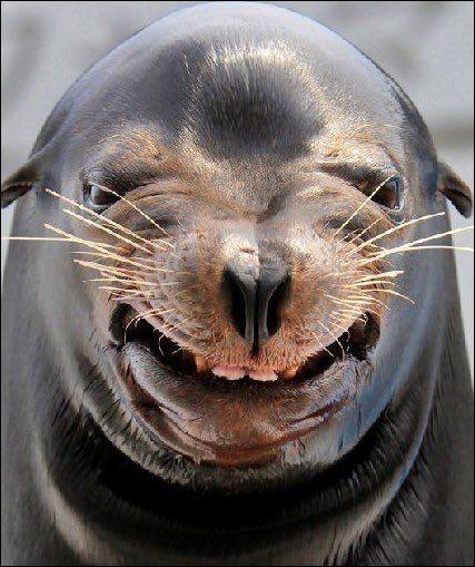 Bien, je dirais que s'il ne sourit pas, il a une sacrée bonne bouille. On en dit : ''Animal sociable par excellence, il vit en colonies nombreuses. En dépit des apparences, il est très agile sur terre où il est capable de se déplacer plus vite qu'un homme, en marchant à l'aide de ses nageoires.''Pour cette photo, une recherche sur Google donne smiling sea lion : quel est le nom de cet animal ?