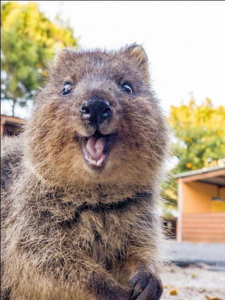 Cet ami est un petit marsupial d'Australie, appelé là-bas «l'animal le plus heureux du monde».Ses selfies font le buzz sur internet : j'ai surfé un peu et j'en ai vu avec des mimiques incroyables, si sympathiques.Trouvez le nom de cette petite bête qui est de nature amicale et accessible : elle se montre aussi curieuse qu'inoffensive.