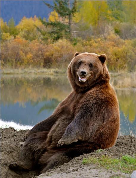 Après l'ours blanc, il est le plus gros carnivore terrestre d'Amérique du Nord. Il est rarement belliqueux : sa taille lui permet d'éviter de se battre avec les autres animaux et il cherche à éviter les contacts avec les humains.Comment nomme-t-on ces massifs ours bruns, lesquels, malgré l'apparence du bien disposé confrère de la photo, il vaut mieux éviter de croiser en randonnée ?