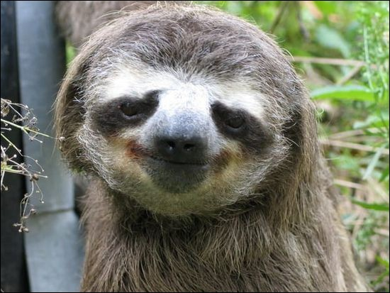 J'ai comme un préjugé que confirme les résultats Google : ''Smooth Smile''. Son aspect facial donne l'impression que le mammifère arboricole arbore un éternel sourire (Futura).Quel est cet animal qui a un petit cœur et qui passe entre 14 et 16 heures par jour à se reposer ?