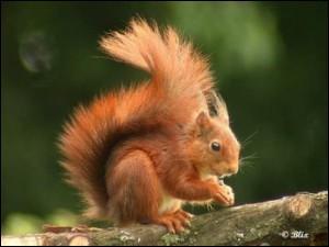Les écureuils sont-ils toujours roux ?