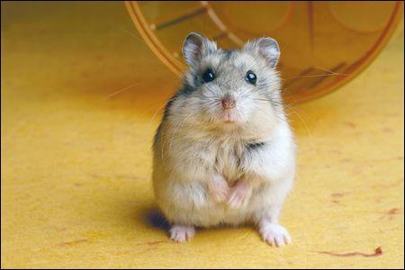 Et pour finir, aimes-tu les hamsters ?