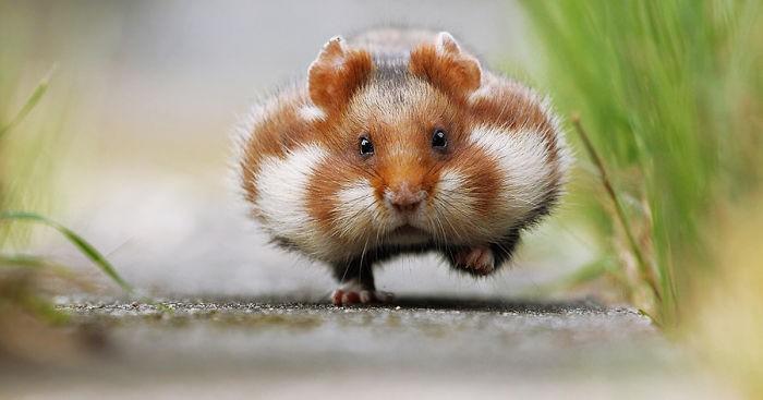 Quel hamster êtes-vous ?