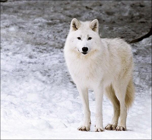 Les Inuits le surnomment amaruk ou amorok. Il vit dans le nord du Canada et de l'Alaska. C'est le loup...