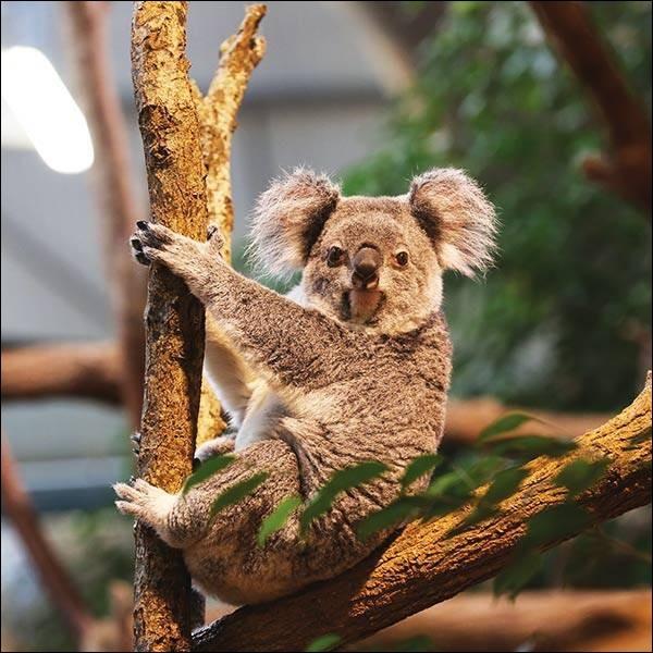 Surnommé le ''paresseux australien'', cet animal se nourrit exclusivement de feuilles d'eucalyptus.Laquelle de ces lettres n'est pas dans son nom ?