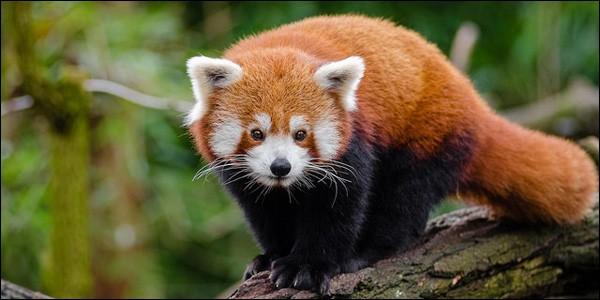 ''Renard de feu'' : surnom donné à ce panda par les Chinois ! Il est friand de bambou, comme le panda géant. C'est le panda...
