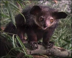 Ce petit lémurien nocturne vit dans les forêts de Madagascar. Quel est son nom ?