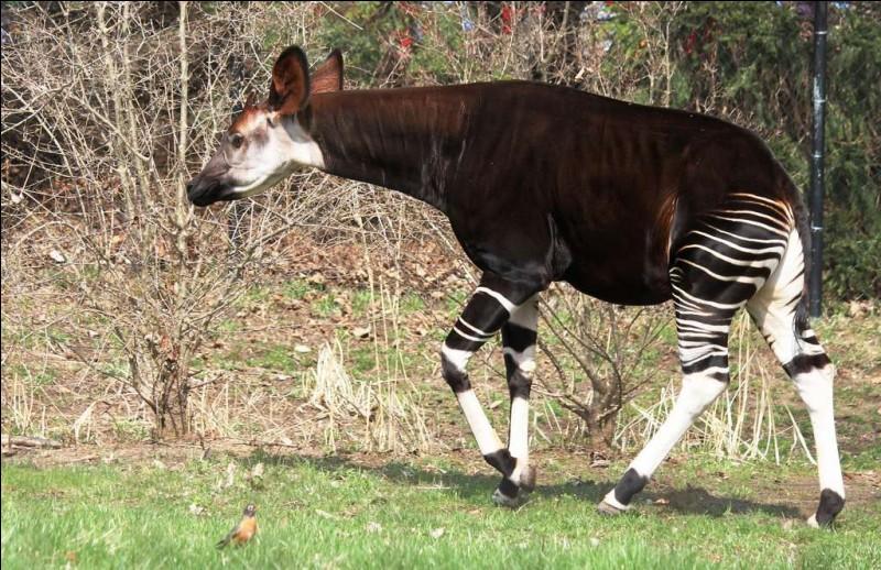 Cet animal, de la même famille que la girafe, ne vit que dans les forêts denses de la République Démocratique du Congo. Son nom est...