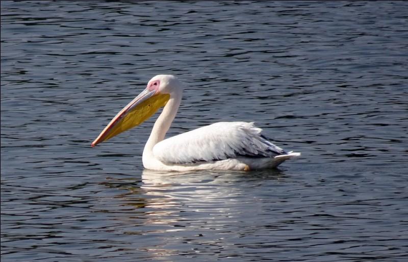 Cet oiseau aquatique se nourrit de poissons qu'il attrape juste sous la surface de l'eau grâce à son bec particulier.Parmi les lettres suivantes ''A - É - I - C - K - L - N - P'', laquelle n'est pas dans son nom ?