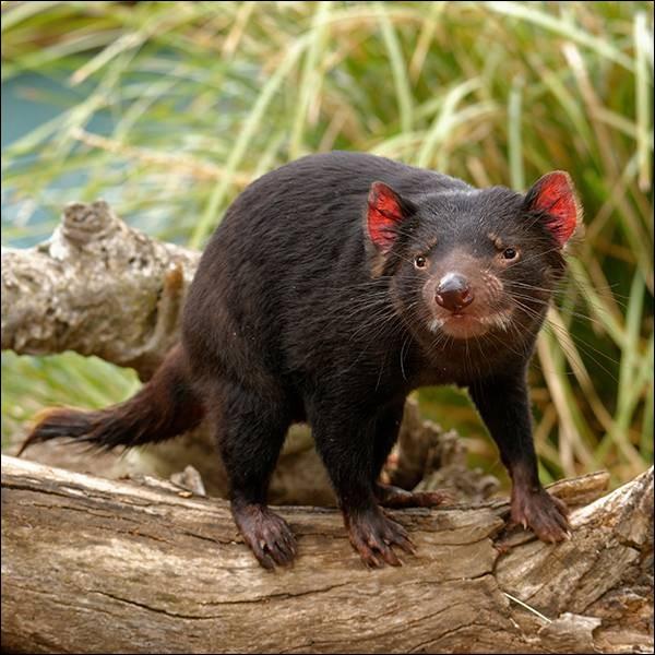 Malgré son apparence et son nom, cet animal endémique de l'île de Tasmanie est timide, méfiant et ne s'attaque à l'homme que s'il se sent menacé. C'est le...