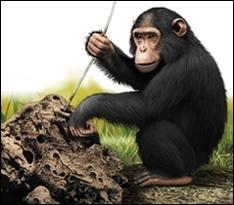 Il est un des rares primates à fabriquer des outils et à s'en servir pour se procurer de la nourriture. Il utilise aussi des plantes médicinales afin de soigner ses maux. C'est le...