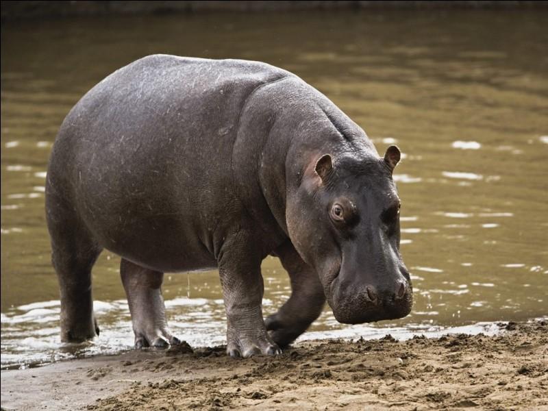 Il a un mode de vie semi-aquatique et est considéré comme l'animal le plus dangereux d'Afrique.Combien de ''P'' comporte son nom ?