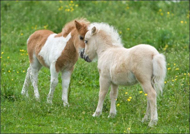 Je vient d'Argentine. Malgré ma petite taille, dépassant rarement 76 cm, je suis un cheval miniature, non un poney. J'ai un tempérament calme, amical, intelligent et robuste. Je peux sauter des obstacles de 90 cm, sans cavalier. Je suis le...