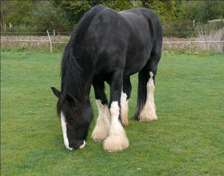 Je viens d'Angleterre. Je peux mesurer jusqu'à 2 m. Je suis le plus grand cheval au monde, et je peux tirer des charges 5 fois plus lourdes que moi. Aujourd'hui, je suis principalement élevé pour les concours d'attelages et de modèles, puisque les machines modernes m'ont remplacé dans de nombreuses régions. Je suis surnommé le ''gentil géant''. Je suis le...