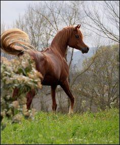 Je suis une race très ancienne, connue pour mon endurance sur de longues distances. Il existe plusieurs variations de ma race, comme le shagya, qui est plus lourd, plus grand et plus fort que ma race originale. Je suis considéré petit à côté d'autres chevaux à sang chaud, et j'ai souvent la queue levée haute, ce qui me rend plus reconnaissable. Je suis le cheval...